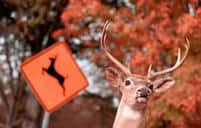 Odds of deer collision