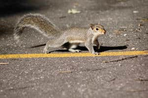 Swerving to miss a squirrel or other small animal is dangerous.